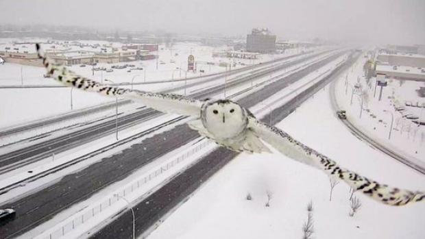 Snowy owl spotted soaring on Montreal traffic camera