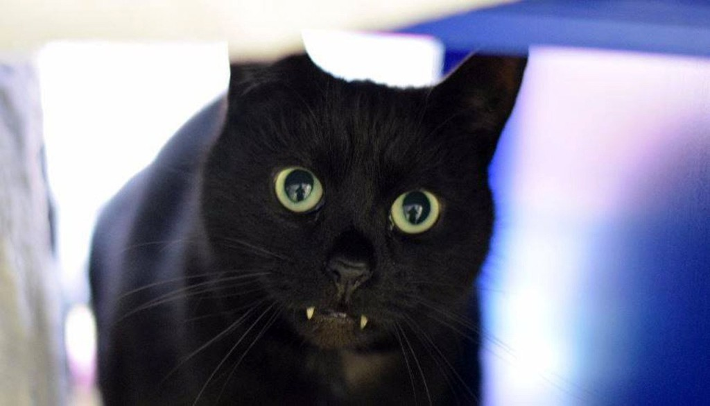 Cat Dracula! The fanged feline no one wants because he looks like a vampire