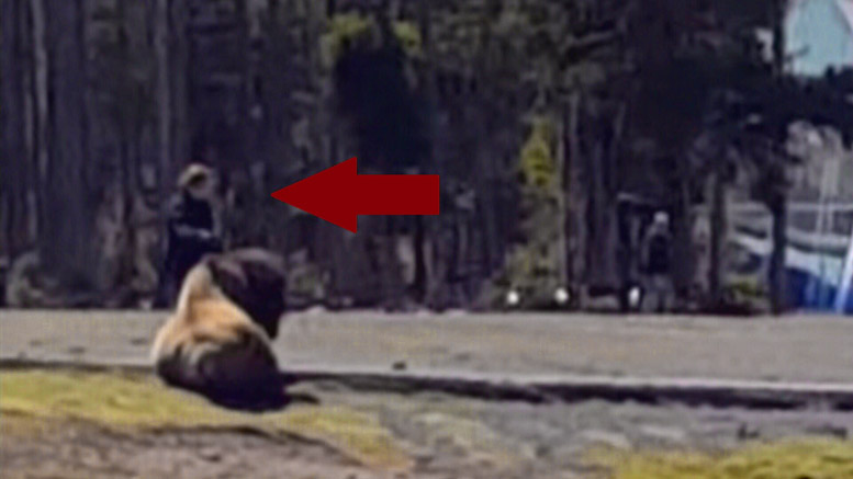 Woman pets bison in Yellowstone!