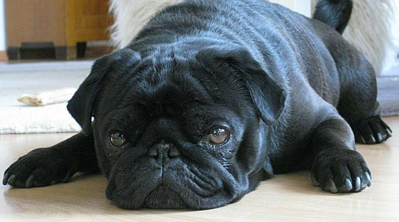 Neighbor shoots family's 15-year-old deaf pug 'for making his dogs bark'
