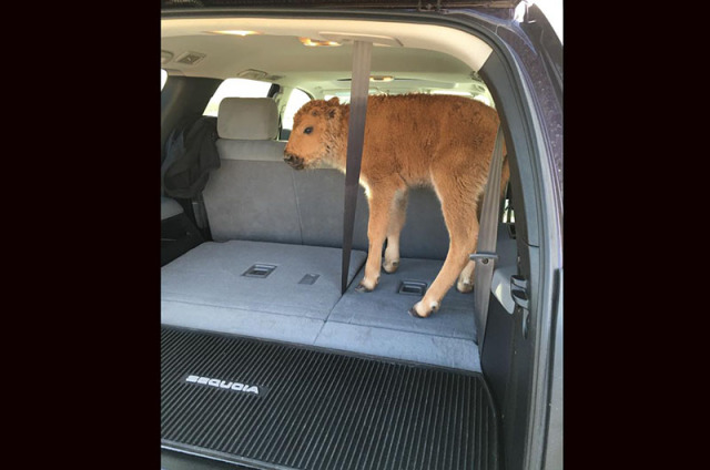 The Yellowstone Bison calf put in a car is now DEAD