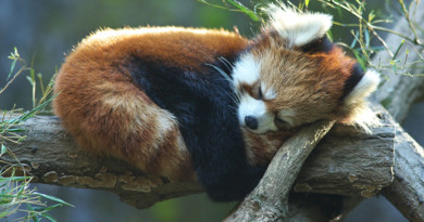Proof that Red Pandas are the cutest animal ever